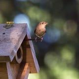 唱歌在鸟舍旁边的家鹪鹩 库存图片