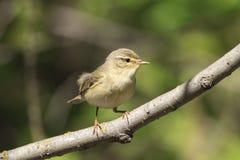 唱歌在年轻绿色叶子中的鸣鸟在早期的春天 图库摄影