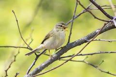 唱歌在年轻绿色叶子中的鸣鸟在早期的春天 库存图片