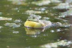 唱歌牛蛙 免版税库存照片