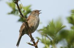 唱歌篱雀或篱雀之类的鸟毛织品modularis在树栖息 免版税库存图片