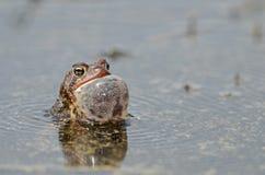 唱歌美国蟾蜍 库存照片
