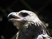 唱歌老鹰 免版税库存照片