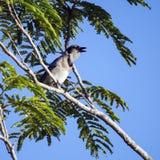 唱歌蓝色尖嘴鸟鸟 免版税库存图片