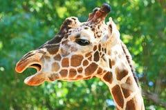 唱歌长颈鹿 免版税库存图片