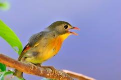 唱歌鸟 图库摄影