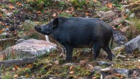 唱歌黑公猪一样可爱象它能是 库存照片