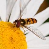 啃在花粉 库存图片