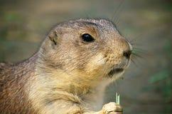啃在草的草原土拨鼠 免版税图库摄影
