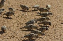 啄在沙子的善社交的(社会)织布工 库存照片