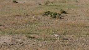 啄在非洲大草原的黑鼓起的鸨鸟甲虫 股票视频