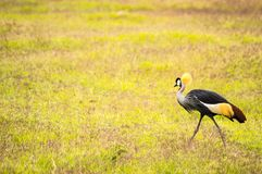 啄在Amboseli公园大草原乡下的皇家起重机  库存照片