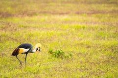啄在Amboseli公园大草原乡下的皇家起重机  免版税库存图片