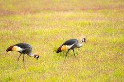 啄在Amboseli大草原的两台Royale起重机在Ke停放 免版税库存照片