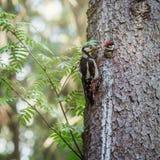 啄木鸟喂养它的婴孩 免版税图库摄影