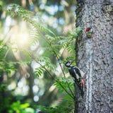 啄木鸟喂养它的婴孩 库存照片