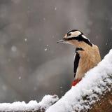 啄木鸟在冬天国家1 库存图片