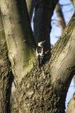 啄木鸟在冬天 库存照片