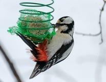 ?? 啄木鸟在我的庭院里 库存照片