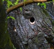 啄木鸟在树的巢孔 免版税库存图片