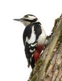 啄木鸟坐树干。 免版税库存图片