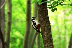啄木鸟坐树枝 图库摄影