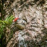 啄木鸟婴孩头 库存照片