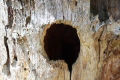 啄木鸟孔,大,树桩,外面 库存图片