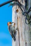 啄木鸟对电线杆 库存照片