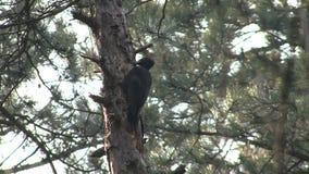 黑啄木鸟狩猎昆虫在杉木山森林里 股票视频