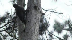 黑啄木鸟狩猎昆虫在杉木山森林里 股票录像