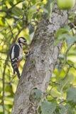 啄木鸟用榛子 库存照片