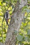 啄木鸟用榛子 免版税库存图片