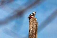 啄木鸟的图象 库存照片