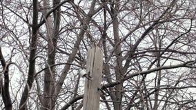 啄木鸟锤子木岗位Dendrocopos少校 影视素材