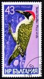 啄木鸟,皮库斯viridis的鸟种类,大约1978年 免版税库存照片