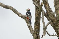 啄木鸟 图库摄影