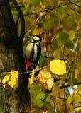 啄木鸟 免版税图库摄影