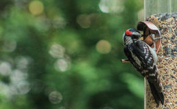 啄木鸟2 免版税库存图片