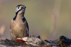 啄木鸟dendrocopos少校 库存图片