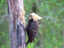 啄腐烂的树干的啄木鸟顶头黄色 库存照片