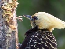 啄腐烂的树干的黄色带头的啄木鸟画象 免版税库存图片