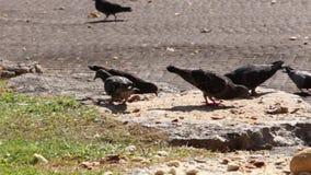 啄面包的鸽子 股票视频