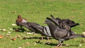 啄面包的鸽子 影视素材