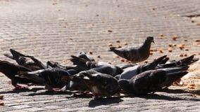 啄面包的鸽子 股票录像