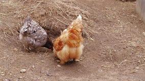 啄饲料自由放养,仓库广场,家禽场的鸡 股票视频