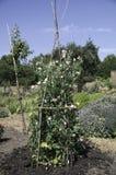 商业种植的香豌豆花花 库存图片