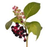 商陆用成熟莓果和叶子 免版税库存图片