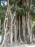 啜泣的无花果,榕属树在曼谷泰国 库存照片