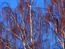 啜泣的桦树在冬天 免版税库存图片